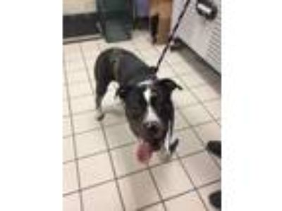 Adopt Zeus a Pit Bull Terrier, Catahoula Leopard Dog