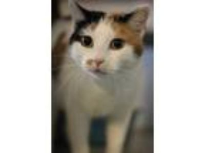 Adopt Colonia a White American Shorthair / Domestic Shorthair / Mixed cat in