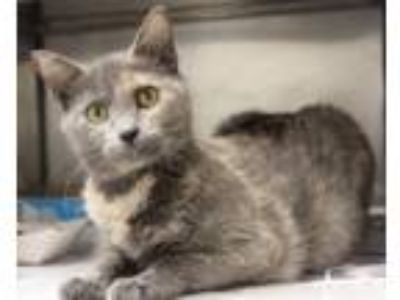 Adopt Priscilla a Domestic Shorthair / Mixed (short coat) cat in Crystal Lake