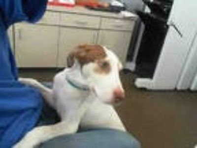 Adopt LIZZIE a White - with Brown or Chocolate Labrador Retriever / Mixed dog in