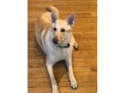Adopt Bear a White German Shepherd