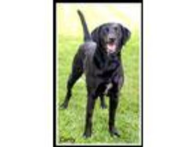 Adopt Carly a Labrador Retriever