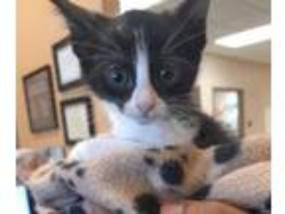 Adopt MARLEE a All Black Domestic Shorthair / Domestic Shorthair / Mixed cat in