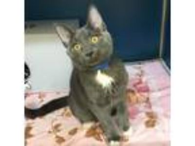 Adopt Aruba a Gray or Blue Domestic Shorthair / Domestic Shorthair / Mixed cat