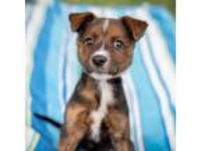 Adopt Piper a Brown/Chocolate Terrier (Unknown Type, Small) / Mixed dog in