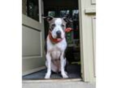 Adopt Sox a Gray/Silver/Salt & Pepper - with White American Pit Bull Terrier /