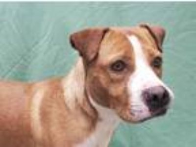 Adopt COOPER a Brown/Chocolate - with White American Pit Bull Terrier / Boxer /