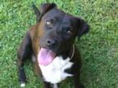 Adopt Lulu a Pit Bull Terrier / Mixed dog in Birmingham, AL (25850817)