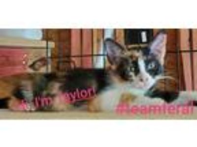 Adopt Taylor a Domestic Shorthair / Mixed (short coat) cat in Spring