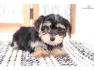 Prince- Adorable ACA Male Yorkie Puppy