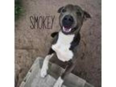 Adopt Smokey a Gray/Silver/Salt & Pepper - with Black Pit Bull Terrier dog in