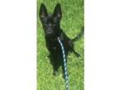 Adopt Chrissy a Black Shepherd (Unknown Type) / Mixed dog in New Orleans