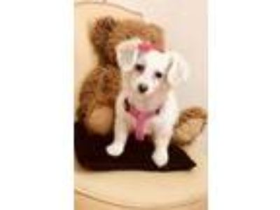 Adopt Mini a Miniature Poodle, West Highland White Terrier / Westie