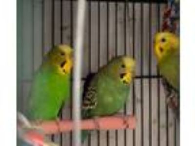 Adopt Eeny, Meeny and Moe/adoption pending a Parakeet (Other)
