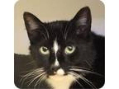 Adopt Athena a Domestic Short Hair