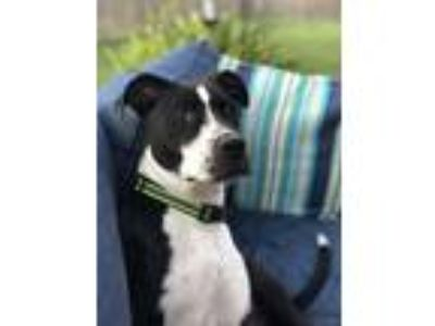 Adopt Toasty a Pit Bull Terrier, Boston Terrier