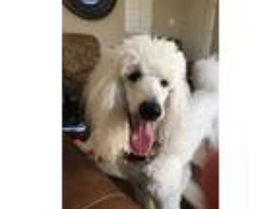 Adopt Winter a Standard Poodle