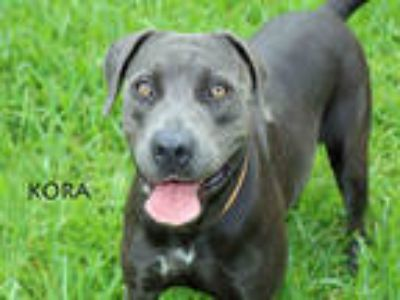 Adopt KORA a Gray/Silver/Salt & Pepper - with White American Pit Bull Terrier /