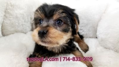 Yorkshire Terrier PUPPY FOR SALE ADN-69452 - Yorkshire terrier Male Harvard