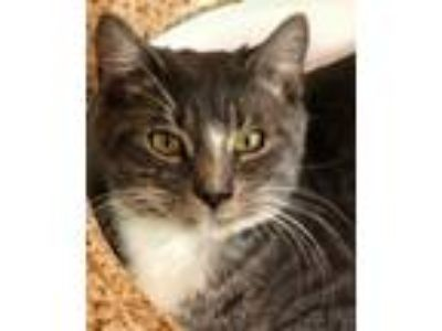 Adopt Little Molly a Tabby, Domestic Short Hair