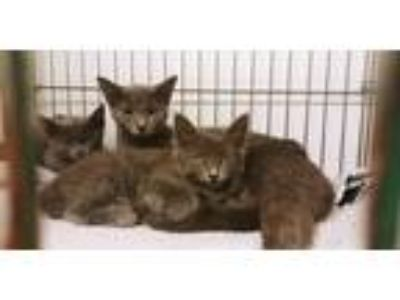 Adopt Stray Kitten a Gray or Blue Domestic Shorthair / Mixed cat in Rock
