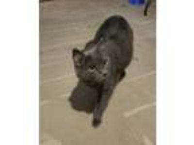 Adopt CharcoalCP a Gray or Blue Domestic Shorthair (short coat) cat in Carlisle