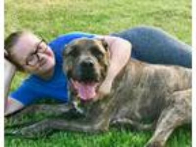 Adopt Handsome Bubba-URGENT a Brindle - with White Mastiff / Cane Corso / Mixed