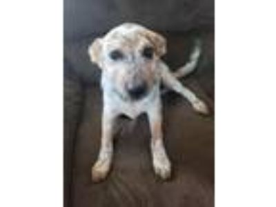Adopt Spot a Australian Cattle Dog / Blue Heeler