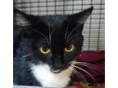 Adopt Hissy Fizz a All Black Domestic Shorthair / Domestic Shorthair / Mixed cat