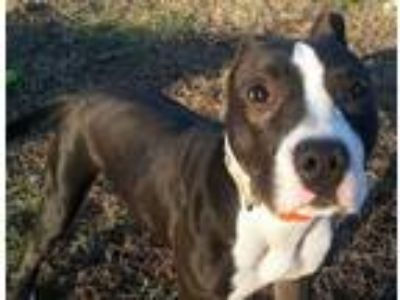 Adopt Peppermint Patty a Black - with White Pit Bull Terrier / Mixed dog in