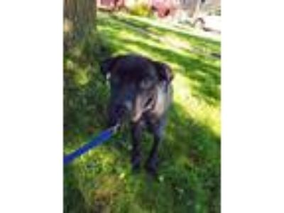 Adopt Tris a Labrador Retriever / Pit Bull Terrier / Mixed dog in Laingsburg