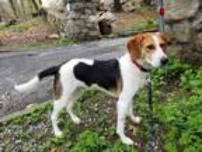 Adopt Sneezy a Tricolor (Tan/Brown & Black & White) Beagle / Mixed dog in