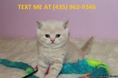 unbeatable%100 M/F Scottish fold Kittens Available