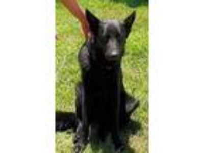 Adopt Dakota a Black German Shepherd Dog / Mixed dog in Hillside, IL (25875786)