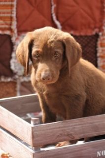Labrador Retriever PUPPY FOR SALE ADN-93049 - Tuck