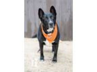 Adopt Radar a Black Labrador Retriever, Shepherd