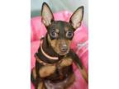 Adopt Shelby a Brown/Chocolate Miniature Pinscher / Mixed dog in Niagara Falls