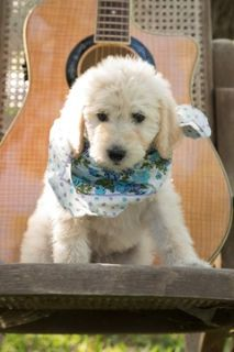 Labradoodle PUPPY FOR SALE ADN-74537 - Labradoodle Puppies F1b CKC reg for Guardian Home