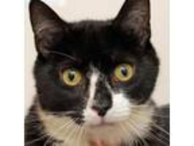 Adopt Dunkin a All Black Domestic Shorthair cat in Middletown, RI (25559680)
