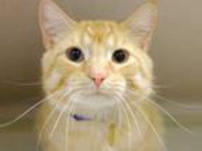 Adopt ANGEL a Orange or Red Tabby Domestic Shorthair / Mixed (short coat) cat in