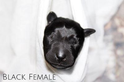 Labrador Retriever PUPPY FOR SALE ADN-90469 - Silver Charcoal Black and Chocolate Labradors