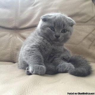 Marvelous pedigree Scottish fold kittens