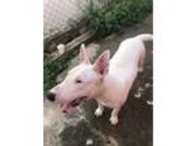 Adopt Scott a White Bull Terrier / Mixed dog in Lititz, PA (23484408)