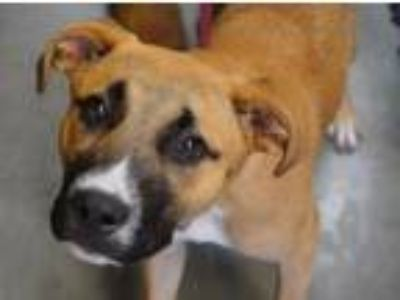 Adopt Zoey a Boxer, Mixed Breed
