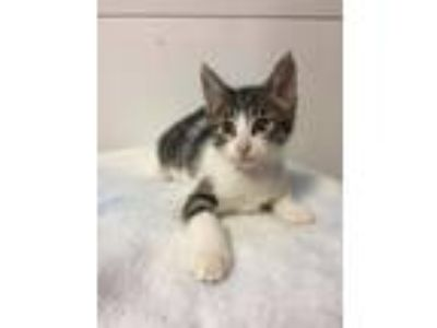 Adopt Caprese a Domestic Shorthair / Mixed (short coat) cat in Mankato