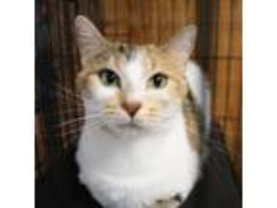 Adopt Charlotte a Calico or Dilute Calico Domestic Shorthair cat in Pendleton