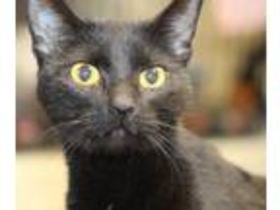 Adopt Ember a All Black Domestic Shorthair (short coat) cat in Reeds Spring
