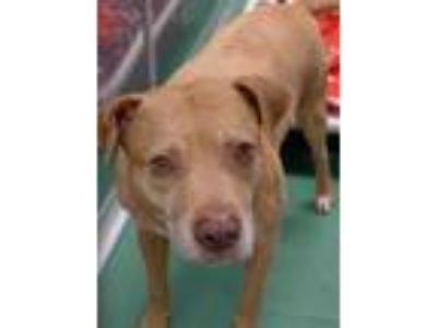 Adopt Snoop a Tan/Yellow/Fawn American Pit Bull Terrier / Mixed dog in The