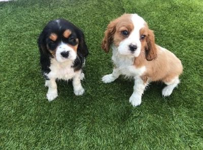 King Charles Cavalier Puppies Classified Ads Clazorg