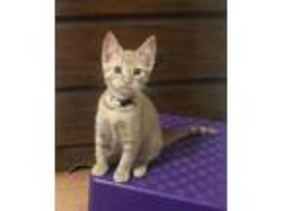 Adopt Felicity a Orange or Red Domestic Shorthair / Mixed (short coat) cat in